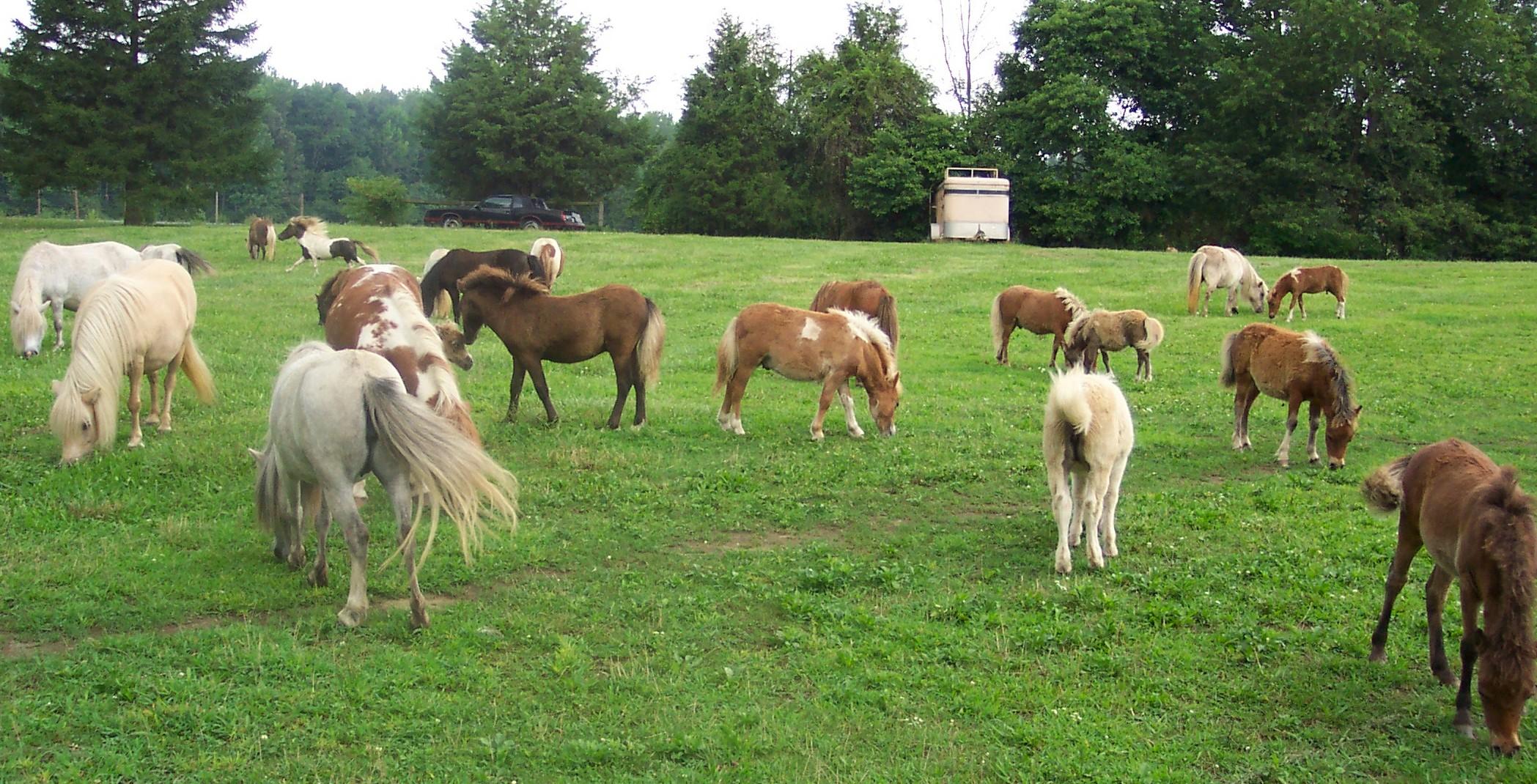 Magic stars miniature horse farm for Horse farm